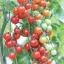 มะเขือเทศหวานสวีทแอพเพอริทิฟ - Sweet Aperitif Tomato F1 thumbnail 2