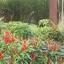 พริกช่อจีน - Thee Cherry Pepper thumbnail 4