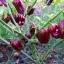 พริกฮาบาเนโร่สีน้ำตาล - Chocolate Habanero Pepper thumbnail 3