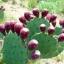 กระบองเพชรทานผล พริคกี้ แพร์ - Prickly Pear Cactus thumbnail 1