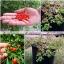 พริกเทพิน - Tepin Pepper thumbnail 4