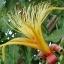 ต้นไม้ยักษ์(เบาบับ)พันธุ์ซ่า - Adansonia Za Baobab thumbnail 4