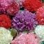 ดอกป็อปปี้ดอกซ้อน คละสี 50 เมล็ด/ชุด thumbnail 1