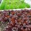 ผักสลัด รูบี้เรด - Ruby Red Lettuce thumbnail 4