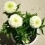 ดอกบานชื่นสีขาว - Mixed White Zinnia Flower thumbnail 3