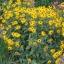 ดอกแบล็คอายซูซาน - Black Eyed Susan Flower thumbnail 2