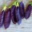 ถั่วลันเตาสีม่วง - Purple Sugar Pea thumbnail 1