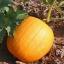 ฟักทองฮาโลวีน พันธุ์คอนเนคติคัท ฟิลด์ - Connecticut Field Pumpkin thumbnail 1