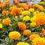 ดอกดาวเรืองคละสี - Mixed Marigold Flower thumbnail 2