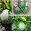 ฟักทองสครอช ซูชินี่กลม - Round Zucchini Summer Squash thumbnail 2