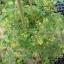 มะเขือเทศ ฮันเรดแอนเทาซัน - Hundred and Thousands Tomato thumbnail 4