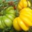 มะเขือเทศฟลอเรนไทน์บิวตี้ - Florentine Beauty Tomato thumbnail 1