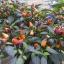 พริกประดับ โบลีเวียนเรนโบว์ - Bolivian Rainbow thumbnail 2