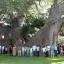 ต้นไม้ยักษ์ เบาบับดิจิทาทา - Adansonia digitata baobab thumbnail 6