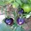 มะเขือเทศสีม่วง - Purple Tomato thumbnail 2