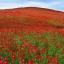 (Big Pack) ดาวกระจายสีแดง - Red Cosmos Flower thumbnail 3