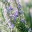 โรสแมรี่ - Rosemary Herb thumbnail 1
