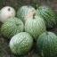 ฟักทองสครอช ซูชินี่กลม - Round Zucchini Summer Squash thumbnail 4