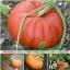 ฟักทองซินเดอเรลร่า - Cinderella Pumpkin thumbnail 4