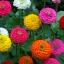 บานชื่น ลิลลิพุท คละสี - Mixed Lilliput zinnia flower thumbnail 2