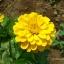 ดอกบานชื่นสีเหลือง - Mixed Yellow Zinnia Flower thumbnail 1