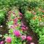 ดอกบานชื่นอเมริกา คละสี - CA Zinnia Flower thumbnail 4