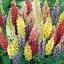 รัสเซล ลูปิน - คละสี - Mix Russell Lupin Flower thumbnail 2