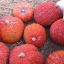 ฟักทองสีแดง - Red warty thing pumpkin thumbnail 3