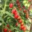 มะเขือเทศ พันธุ์เดทเทอริโน่ - Datterino Tomato thumbnail 3