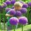 แอลเลี่ยมยักษ์ - Globemaster Allium thumbnail 1