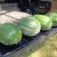 แตงโมแบล็คไดมอนด์ - Black Diamond Watermelon thumbnail 1
