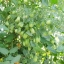 มะเขือเทศ องุ่นแดง - Red Grape F1 thumbnail 3