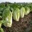 ผักกาดขาวมิชิฮิริ - Michihili Chinese cabbage thumbnail 1