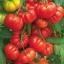 มะเขือเทศ มาร์แมนด์ - Marmande Tomato thumbnail 2