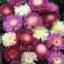 ดอกสวีทสุลต่าน คละสี 5 เมล็ด/ชุด thumbnail 1