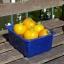 มะเขือเทศโกลเด้น ซันริส - Golden Sunrise tomato thumbnail 1