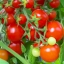 มะเขือเทศ เชอรี่สวีทตี้ - Cherry sweetie Tomato thumbnail 2