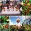 พริกซอส โทบาสโก้ - Tobasco Pepper thumbnail 4