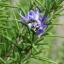 โรสแมรี่ - Rosemary Herb thumbnail 6