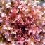 (Whole 1 Oz) สลัดแดงโบวล์ - Red Salad Bowl thumbnail 2
