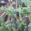 ถั่วลันเตาสีม่วง - Purple Sugar Pea thumbnail 2