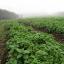 สปินิส นิวซีแลนด์ - New Zealand Spinach thumbnail 4