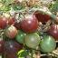 มะเขือเทศเชอรี่สีน้ำตาล - Chocolate Cherry Tomato thumbnail 3