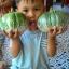 มะเขือเปราะยักษ์กัมพูชา - Cambodian Giant Eggplant thumbnail 2