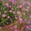 ดอกยิมโซ สีชมพู - Pink Gypsophila thumbnail 4