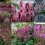 """ดอกไม้ป่าอังกฤษ""""เบโทนี่"""" 20เมล็ด/ชุด thumbnail 1"""