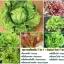 ชุดรวมผักสลัด 7 ชนิด - Salad Set 7 in 1 thumbnail 1