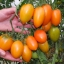 มะเขือเทศกล้วยสีส้ม - Orange Banana Tomato thumbnail 1