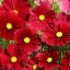 (Big Pack) ดาวกระจายสีแดง - Red Cosmos Flower thumbnail 1