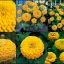 ดอกบานชื่น สีเหลืองทอง 15 เมล็ด/ชุด thumbnail 1